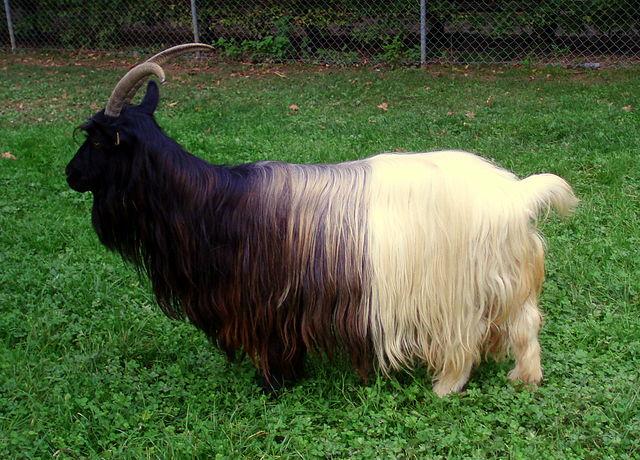 Valais Blackneck goat. Photo by: Nauticashades